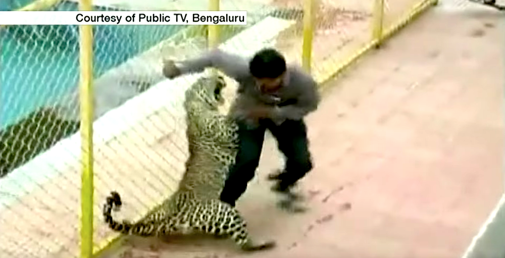 related keywords amp suggestions for leopard attack india video
